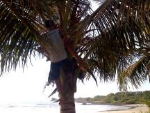 GUILLERMO HARVESTING COCONUTS